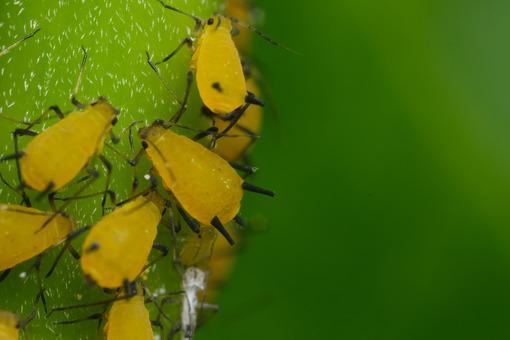 Parassiti delle piante. Yellow aphids suck the sap from a leaf. Foto stock royalty free. - MyVideoimage.com | Foto stock & Video footage