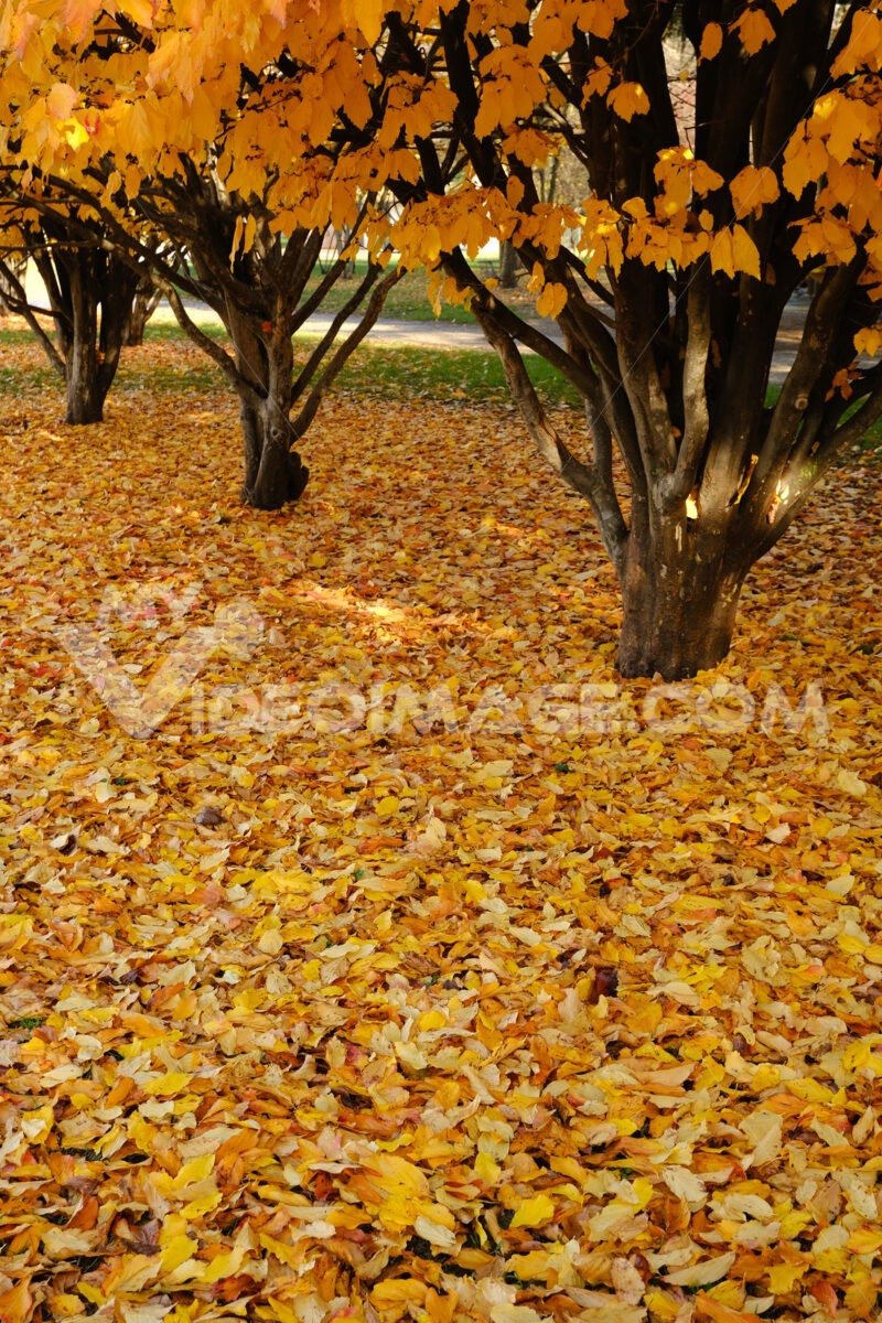 Park with trees in autumn with drooping yellow leaves. - MyVideoimage.com