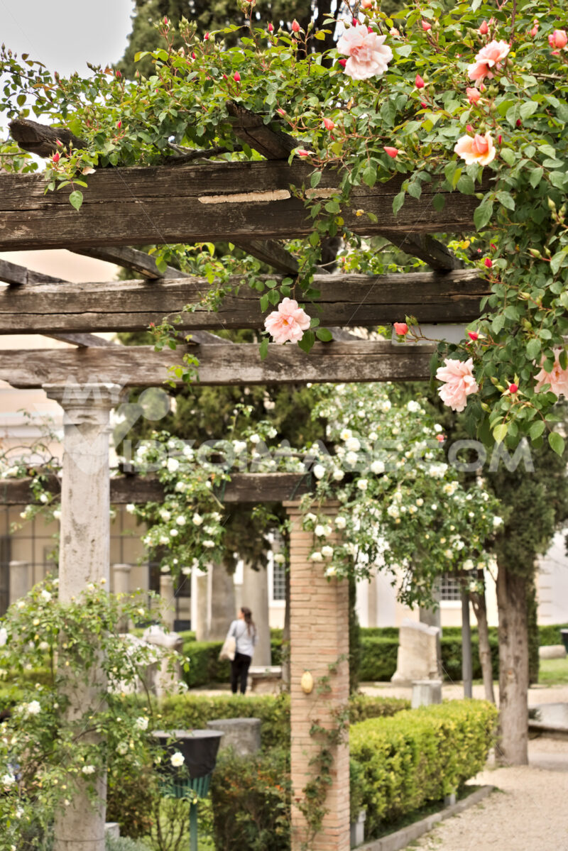Pergola of white and pink roses on wooden beam. - LEphotoart.com