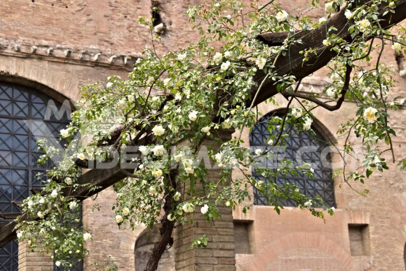 Pergolato con rose bianche rampicanti. Roma foto. Città italiane. Italian cities.