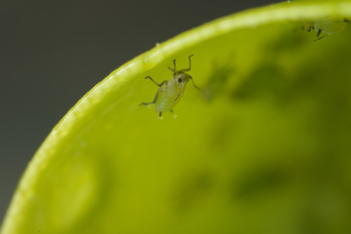 Piccoli parassiti su una foglia. Green aphids suck the sap from a leaf. Foto stock royalty free. - MyVideoimage.com | Foto stock & Video footage