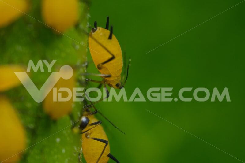 Pidocchi delle piante. Yellow aphids suck the sap from a leaf. Foto stock royalty free. - MyVideoimage.com   Foto stock & Video footage