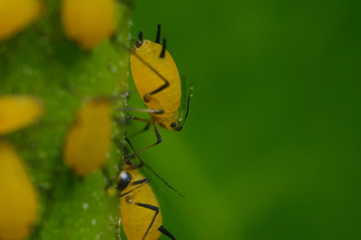 Pidocchi delle piante. Yellow aphids suck the sap from a leaf. Foto stock royalty free. - MyVideoimage.com | Foto stock & Video footage