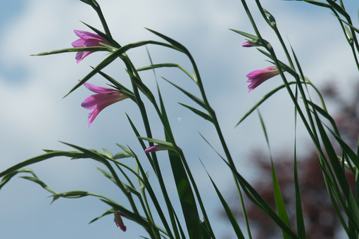 Pink flowers of wild gladiolus move in the wind. A Mediterranean garden with Gladiolus italicus blooming in spring with the sky background. - MyVideoimage.com