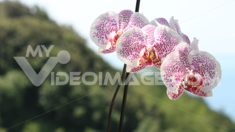 Pink orchid flowers with red dots. Landscape with hill. - MyVideoimage.com
