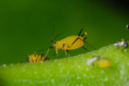 Plant insect. Yellow aphids suck the sap from a leaf. Stock photos. - MyVideoimage.com | Foto stock & Video footage