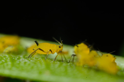 Plant lice. Yellow aphids on a leaf suck the sap of the plant. Stock photos. - MyVideoimage.com   Foto stock & Video footage