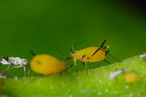 Plant lice. Yellow aphids suck the sap from a leaf. Stock photos. - MyVideoimage.com | Foto stock & Video footage
