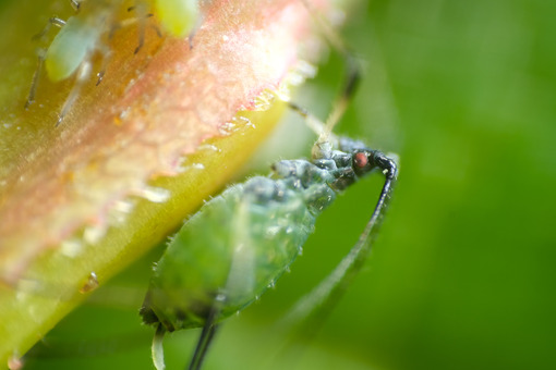 Plant parasite. Aphids suck the sap from the petiole of a leaft. Stock photos. - MyVideoimage.com | Foto stock & Video footage