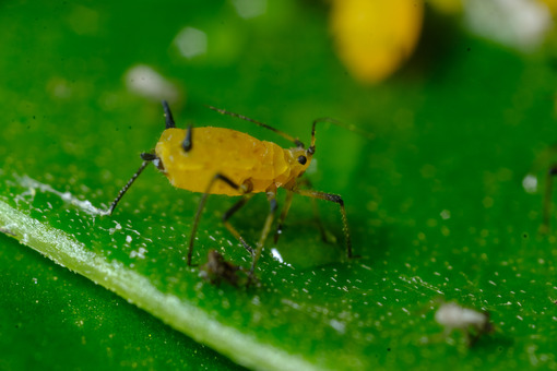 Plant parasite. Yellow aphid on a leaf suck the sap of the plant. Stock photos. - MyVideoimage.com   Foto stock & Video footage