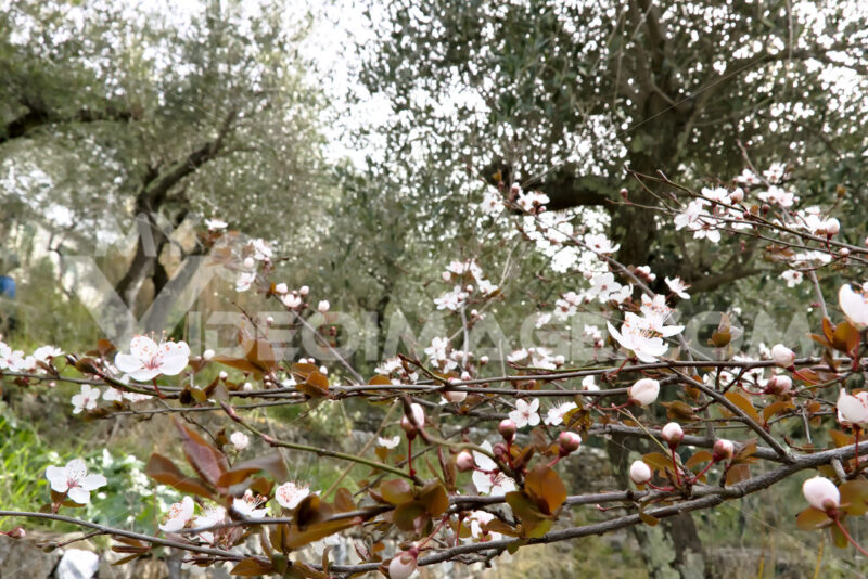Plum blossoms in an olive grove - MyVideoimage.com | Foto stock & Video footage