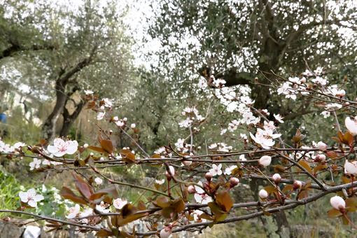 Plum blossoms in an olive grove - MyVideoimage.com
