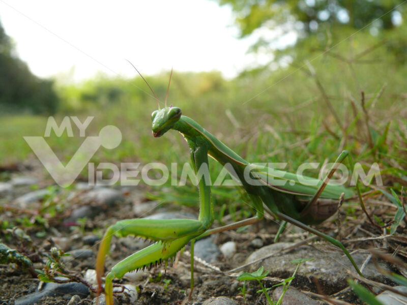 Praying mantis in the foreground resting on a green lawn. - MyVideoimage.com