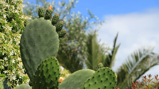 Prickly pear flowers in a Mediterranean garden. - MyVideoimage.com