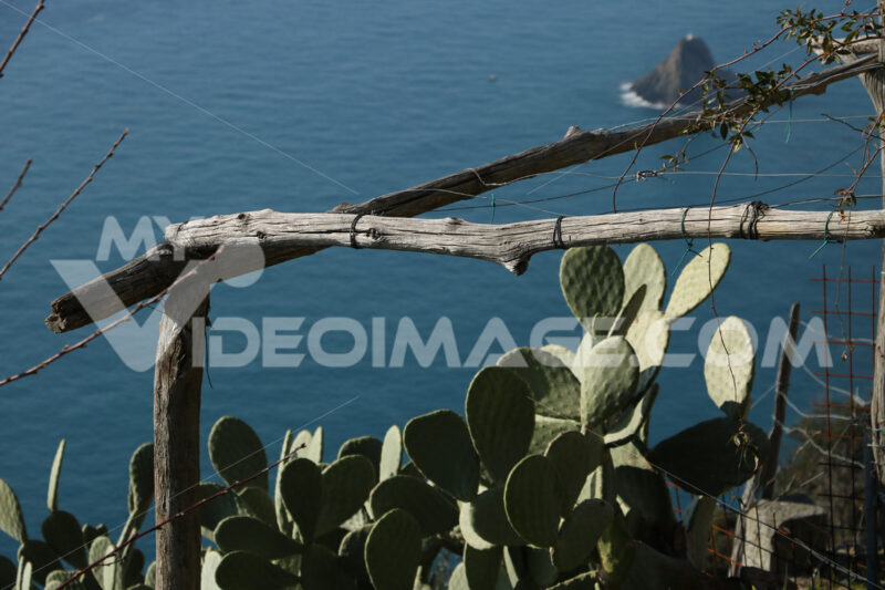 Prickly pear plants near the Cinque Terre marine park. In the background the rock of the Ferale. - LEphotoart.com
