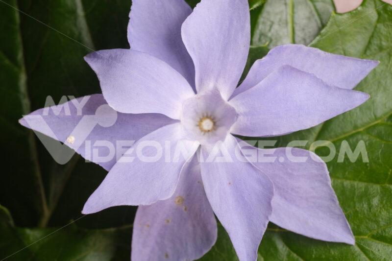Purple flower. Double purple periwinkle flower. Stock photos. - MyVideoimage.com | Foto stock & Video footage