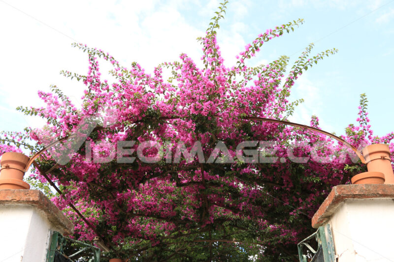 Red bougainvillea flowers. - MyVideoimage.com