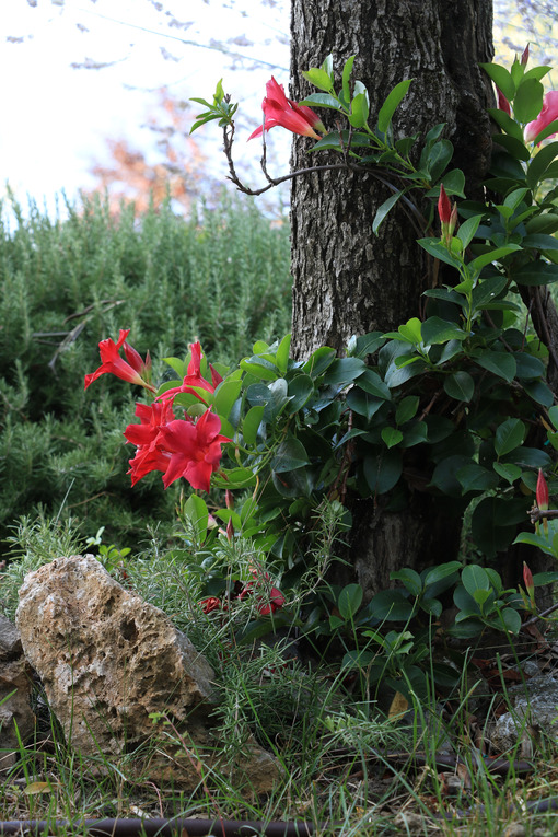 Red flowers of a dipladenia climbing plant in a Mediterranean garden. Background with rosemary plant and olive tree. - MyVideoimage.com | Foto stock & Video footage