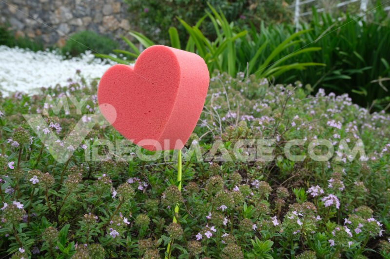 Red heart in foam in the shape of a flower. Garden with blooming thyme with a heart symbolizing love. - MyVideoimage.com