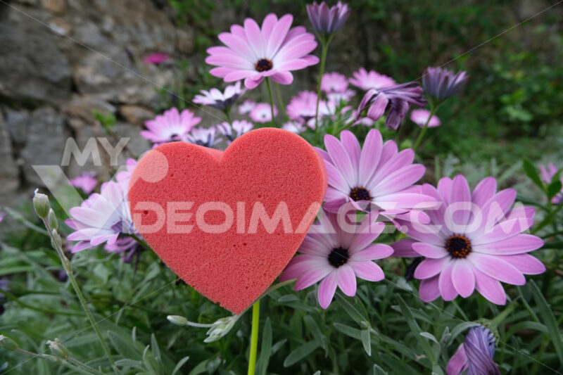 Red heart in foam in the shape of a flower. Garden with pink daisies in bloom with a heart symbolizing love. - MyVideoimage.com