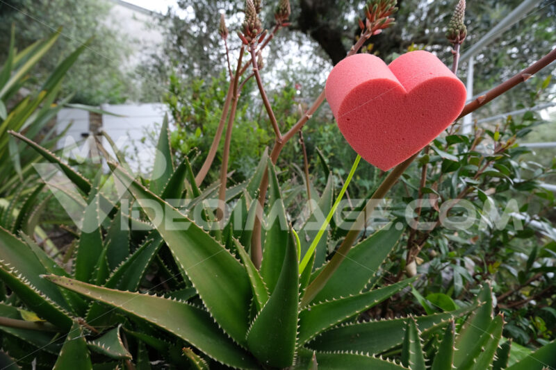 Red heart in foam in the shape of a flower. Garden with succulents and aloe vera leaves with thorns with a heart symbolizing love. - MyVideoimage.com