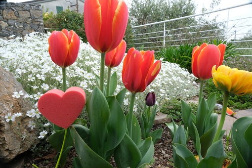 Red heart in foam in the shape of a flower. Garden with tulip flowers and white cerastium with a heart symbolizing love. - MyVideoimage.com
