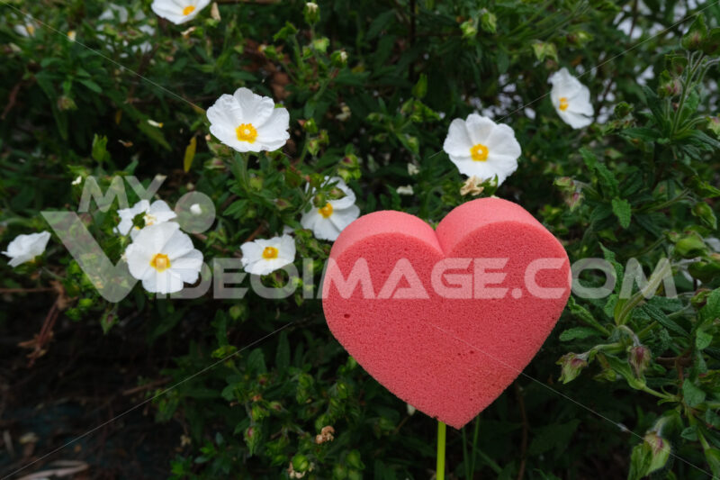 Red heart in foam in the shape of a flower. Garden with white blooming cistus bush with a heart symbolizing love. - MyVideoimage.com