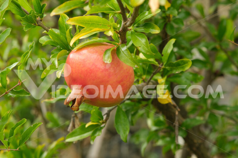 Red ripe organic pomegranate fruits on the plant. High in antioxidants and vitamins. - MyVideoimage.com