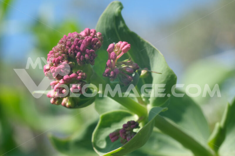 Red valerian flowers, medicinal herb. Spontaneous edible plant. - MyVideoimage.com