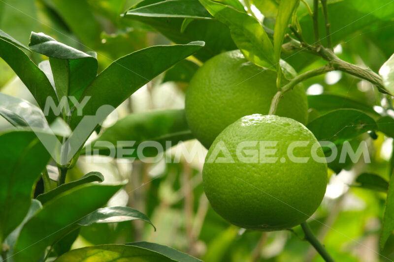 Ripe organic orange fruits of green color on the plant. High in antioxidants and vitamins. - MyVideoimage.com
