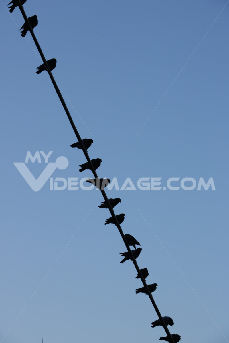 Row of birds laid on an electric cable with blue sky. - MyVideoimage.com