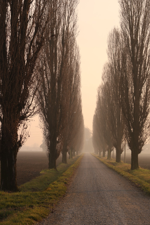 Row of poplar trees at sunset shrouded in fog in the Po Valley in Lombardy. - MyVideoimage.com