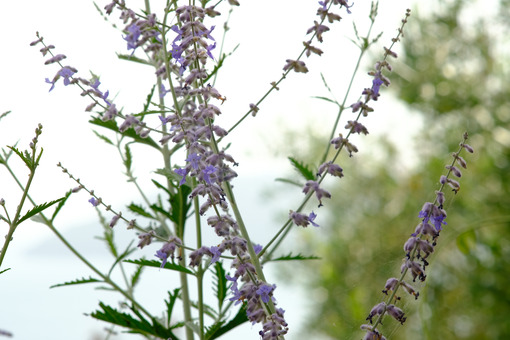 Sage flower. Sage flowers against the backdrop of the Ligurian sea. Stock photos. - MyVideoimage.com | Foto stock & Video footage