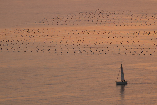 Sailboat skirts mussel farms in the Gulf of La Spezia sea. Warm sunset light. - MyVideoimage.com