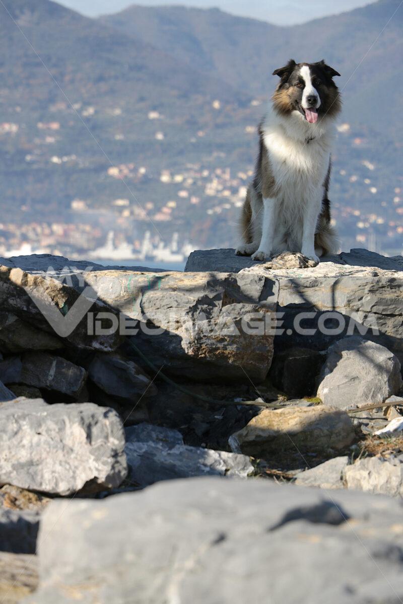 Scottish shepherd dog or Scotch Collie with the background of the sea. Foto animali. Animal photos. Cane