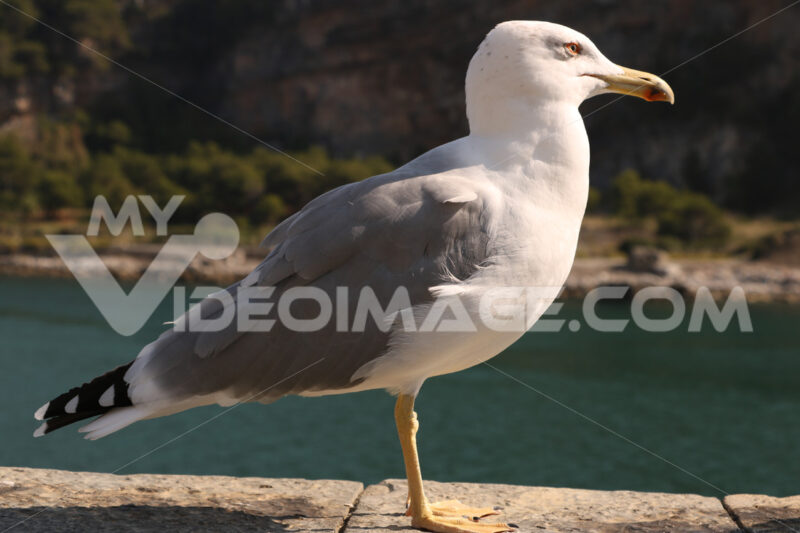 Seagull walks on the parapet in Portovenere, near the Cinque Terre. - MyVideoimage.com