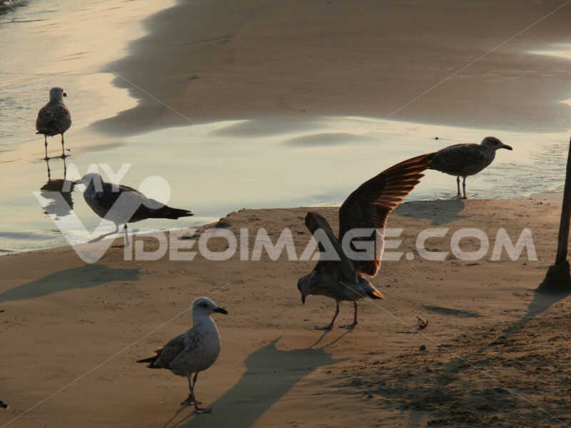 Seagulls on the golden beach with sunset light. - MyVideoimage.com