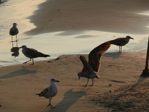 Seagulls on the golden beach with sunset light. - MyVideoimage.com