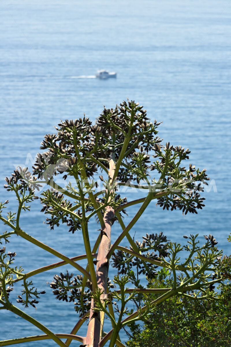 Seascape near the Cinque Terre in Liguria. An Agave flower in the foreground and a blue sea with waves and rocks. Village of Framura. - MyVideimage.com