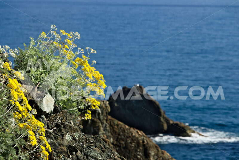 Seascape whit spurge tree near the Cinque Terre, in Liguria, Fra - MyVideimage.com