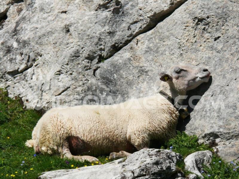 Sheep sleeps on a rock - MyVideoimage.com