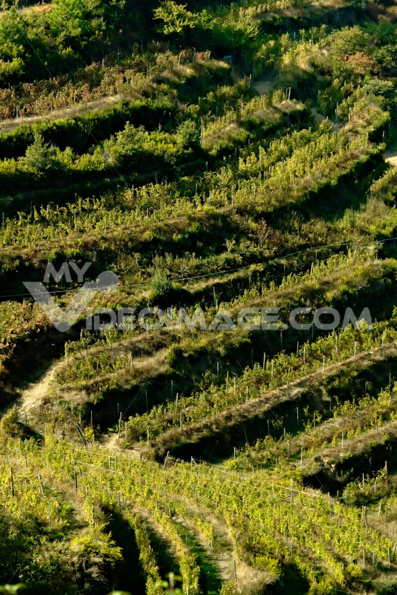 Shiacchetrà vineyard in the Cinque Terre. Cultivation of the vine in the terracing of the Cinque Terre (Province of La Spezia) - LEphotoart.com