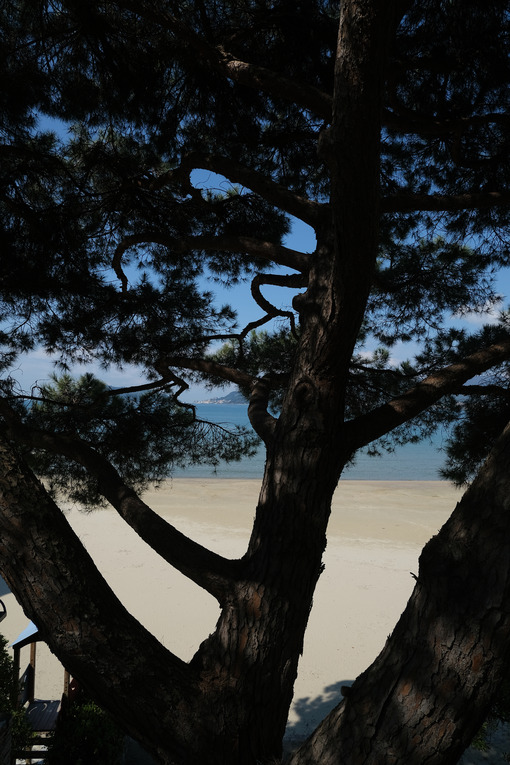 Silhouette of a pine tree trunk with the background the beach and the sea of the gulf of La Spezia. - MyVideoimage.com | Foto stock & Video footage