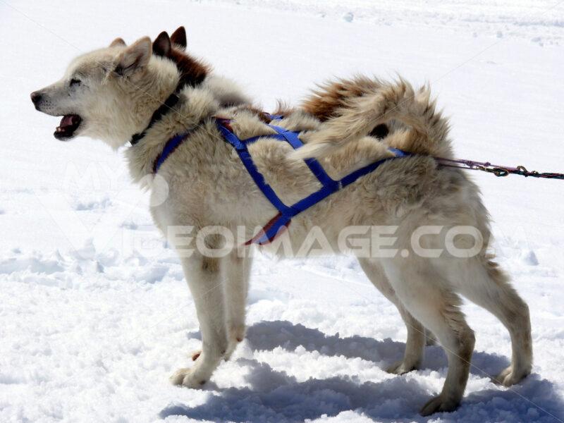 Sled dogs in the snow. Foto animali. Animal photos. Cani da slitta
