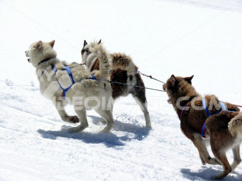 Sled dogs in the snow. Cani da slitta.