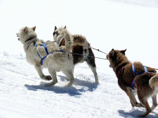 Sled dogs in the snow. Cani da slitta.