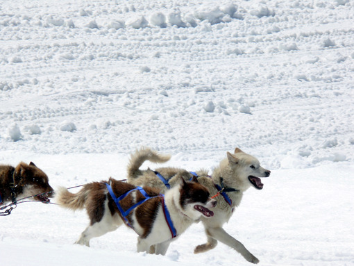 Sled dogs in the snow. Foto animali. Animal photos. Cani da slitta