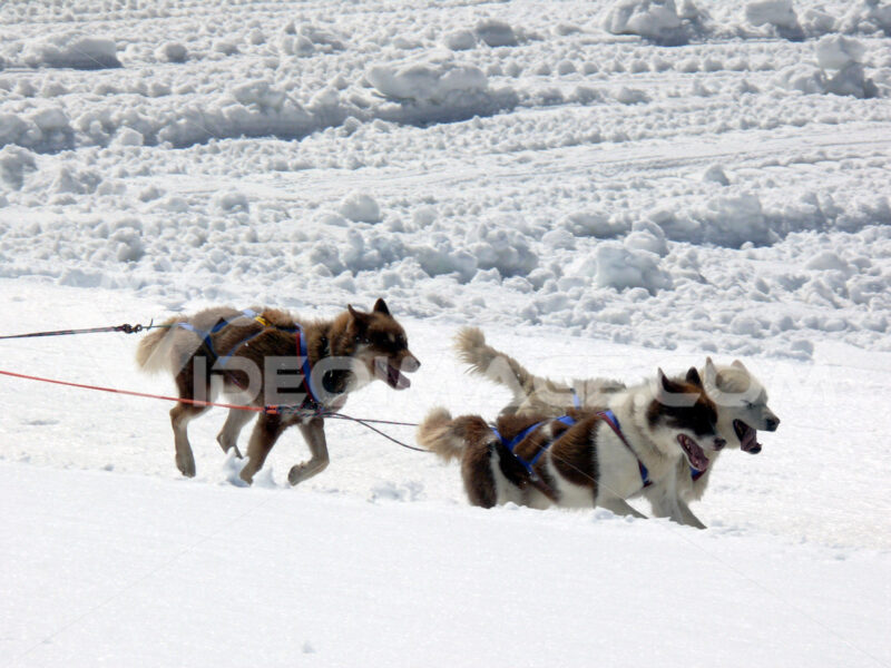 Sled dogs in the snow. Foto animali. Animal photos. Cani