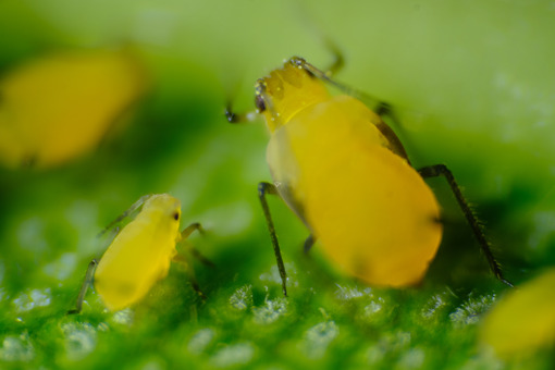 Small parasite. Yellow aphid on a leaf suck the sap of the plant. Stock photos. - MyVideoimage.com   Foto stock & Video footage