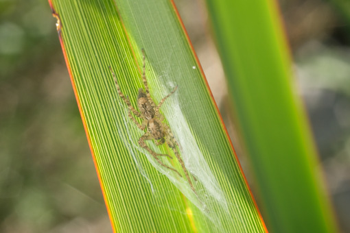 Small spider on a green and yellow lanceolate leaf. Formium (Phormium) variegated. Detail macro. - MyVideoimage.com